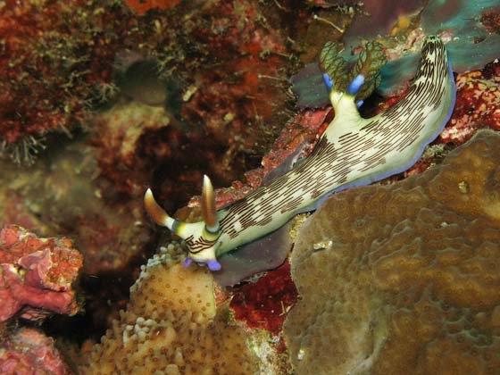 phoca_thumb_l_gestreifte-neonsternschnecke-striped-neon-slug-nembrotha-lineolata-29