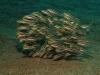 phoca_thumb_l_gestreifter-korallenwels-striped-eel-catfish-plotosus-lineatus-7