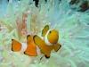 phoca_thumb_l_orangeringel-anemonenfisch-false-clown-fish-amphprion-ocellaris-18