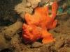 phoca_thumb_l_painted-frogfish-antennarius-pictus-7